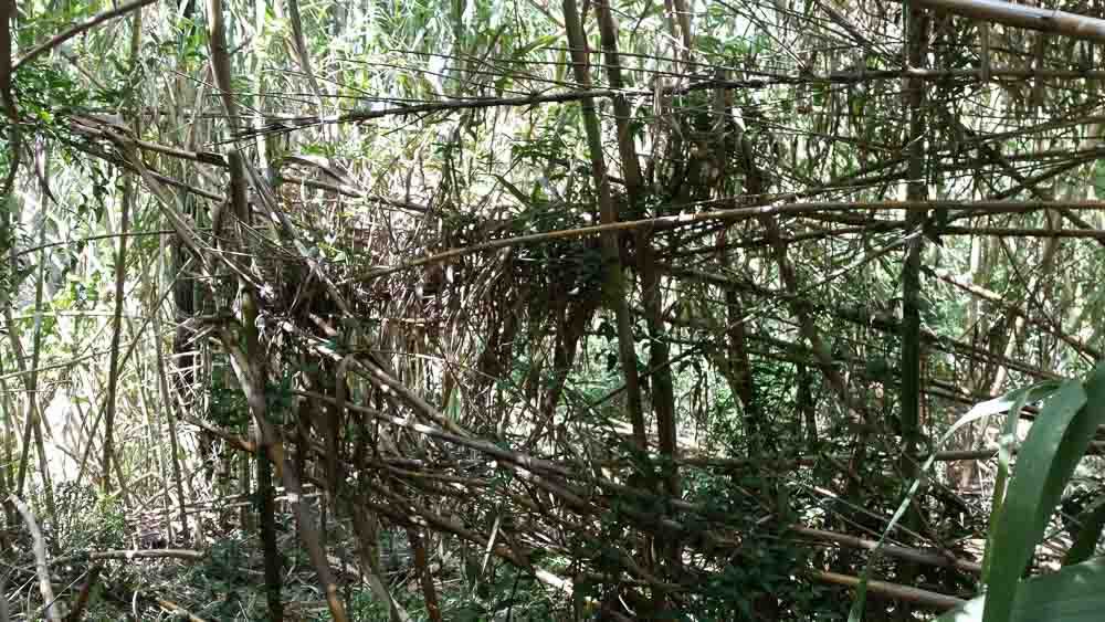 Giant cane grass weed (2)