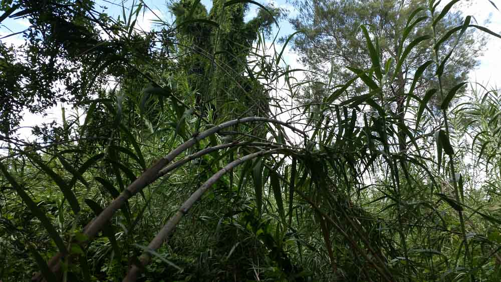 Giant cane grass weed